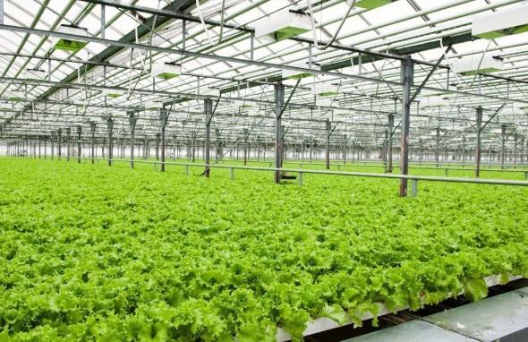 Dùng tôn nhựa lấy sáng trong nhà kính trồng rau